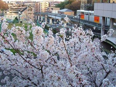 桜の向こうをモノレールが行きますdownsize