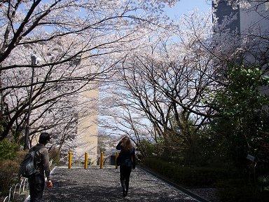構内の桜のトンネルdownsize