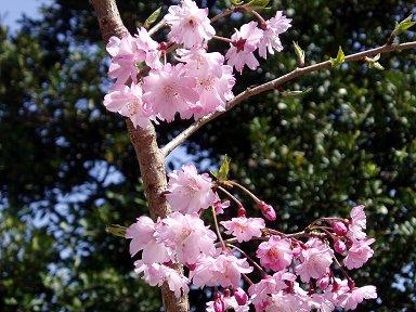 ピンクの八重が陽に映えて美しいdownsize
