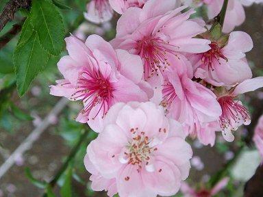 淡く優しい桃が今年も庭に咲きましたdownsize