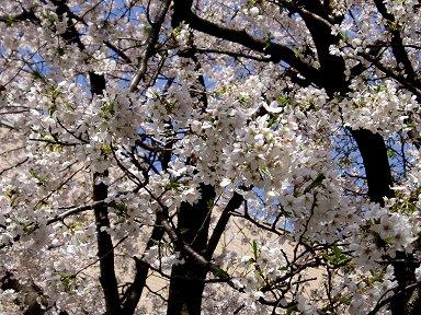 淡い桜色と黒い幹と青空とのコントラストが艶やかですdownsize