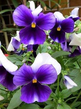 紫のビオラREVdownsize