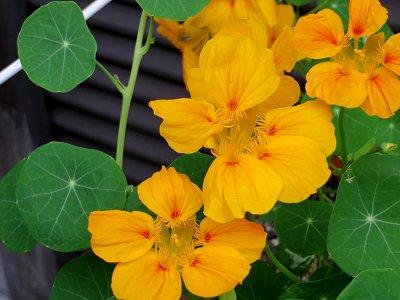 黄色い花Idownsize