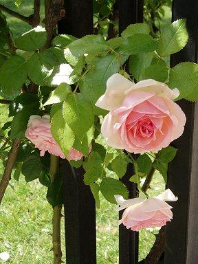 ペレール大通りのピンクのバラdownsize