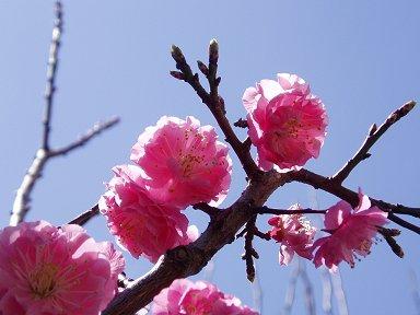 陽に透ける桃の花downsize