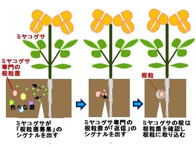 マメ科と根粒菌のコミュニケーション