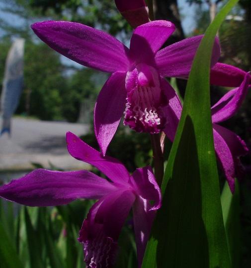 紫蘭 21-1