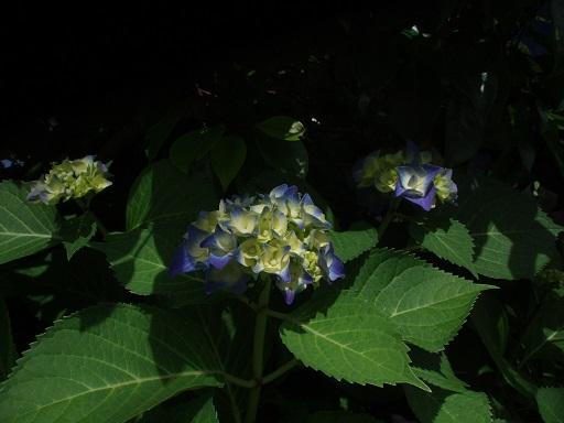 紫 紫陽花