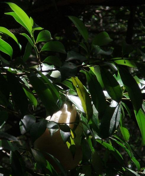 モリアオガエル卵 (2)