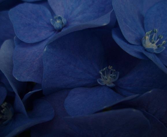 紫陽花 (5)