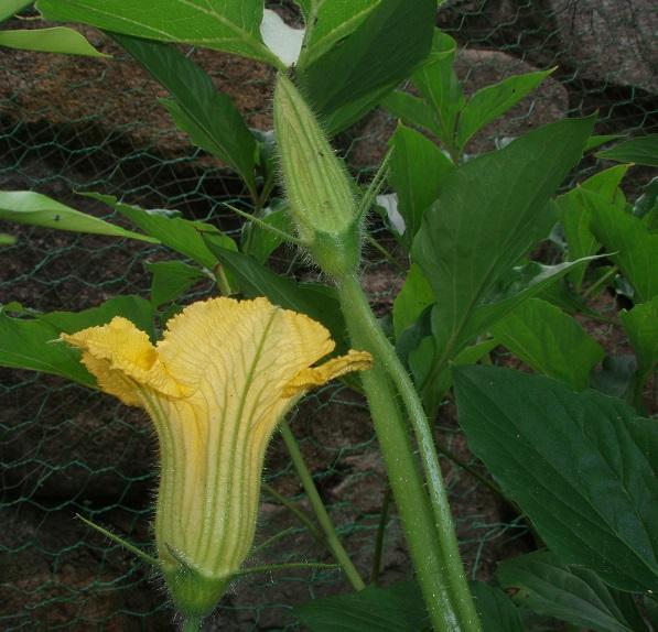 カボチャの花 (3)