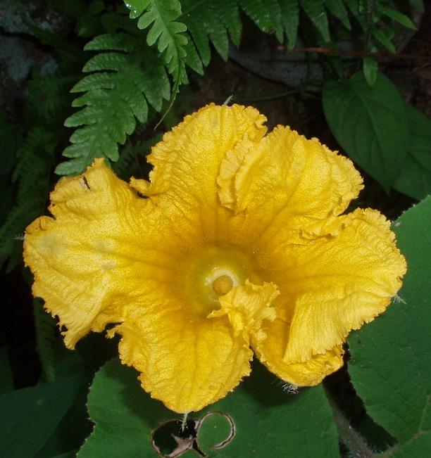 カボチャの花 (2)