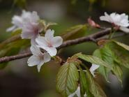 見納め山の桜