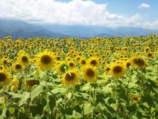 明野村の ひまわり畑