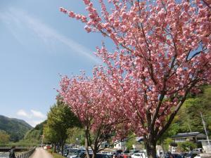 道の駅で八重桜