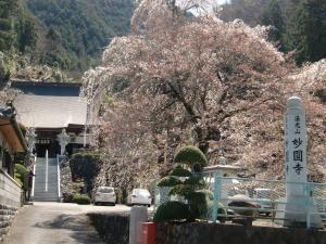 妙園寺の枝垂れ