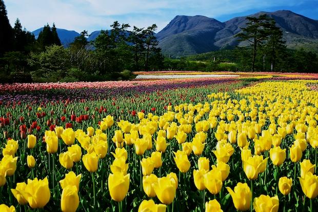 Tulip1.jpg