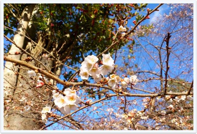 鹽竈神社 塩釜神社 塩竈市 宮城県 神社 桜 四季桜