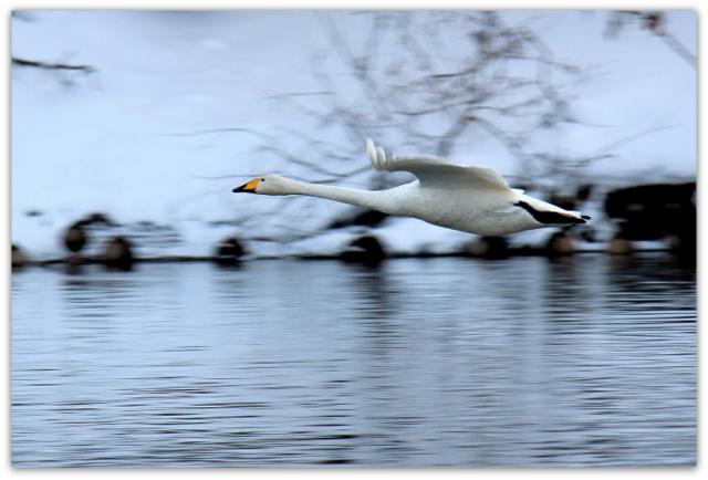 白鳥 はくちょう ハクチョウ トリ とり 鳥 野鳥 渡り鳥 写真