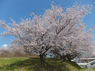 2013桜①