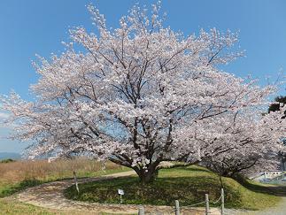2013桜③