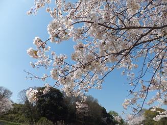 2013桜④