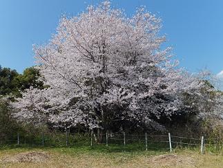 2013桜⑤