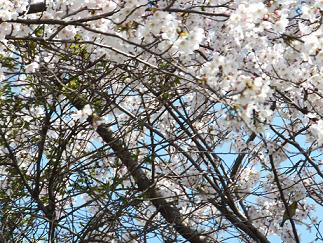 2013桜⑥
