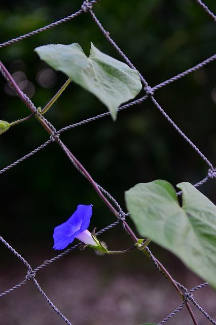 初秋の朝顔