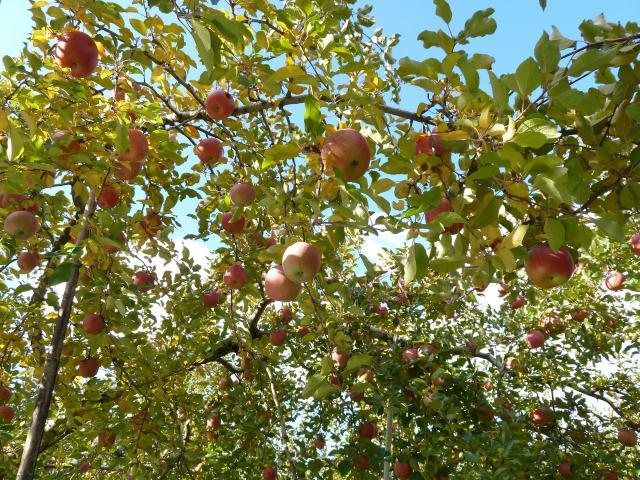 apple-01-FUJI.jpg