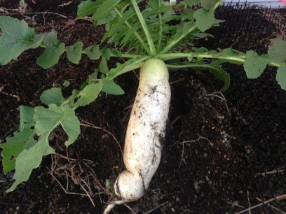 家庭菜園の大根