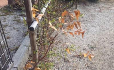 20140202_枯れたニームの葉
