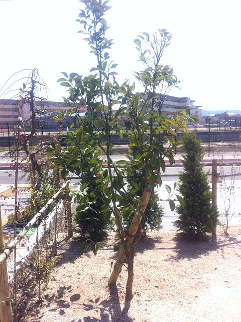 シンボルツリーのみかんの木