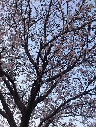 原鶴温泉の桜