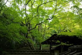 高桐院の新緑