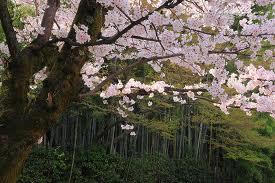 高桐院の桜