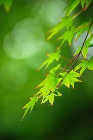 高桐院の緑