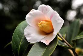高桐院の椿「雪中花」3