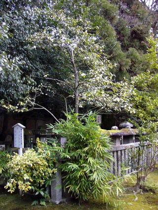 高桐院の椿「雪中花」2