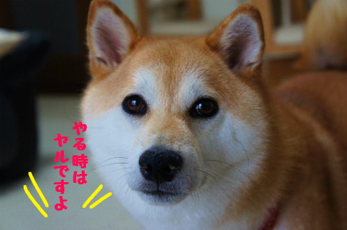 デキル柴犬