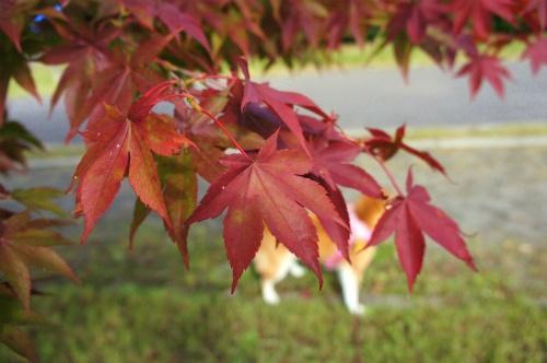 紅葉と柴犬