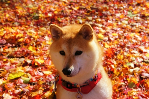 紅葉と柴犬③