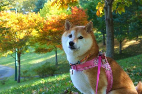 柴犬と紅葉②