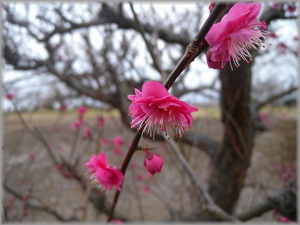 2012.2.23 曽我梅園7