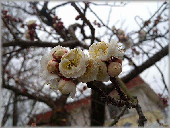 2012.2.23 曽我梅園5