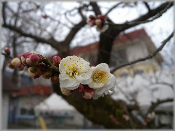 2012.2.23 曽我梅園3
