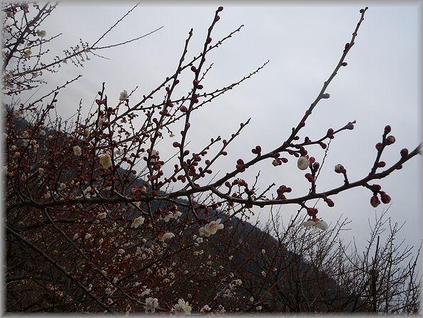 2012.2.23 曽我梅園6
