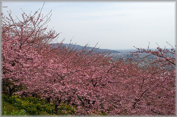 2012.3.16 松田河津桜1