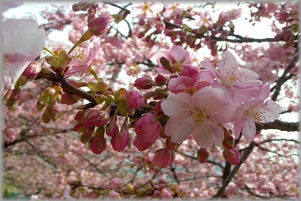 2012.3.16 松田河津桜3