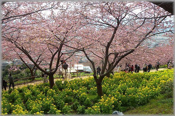 2012.3.16 松田河津桜5